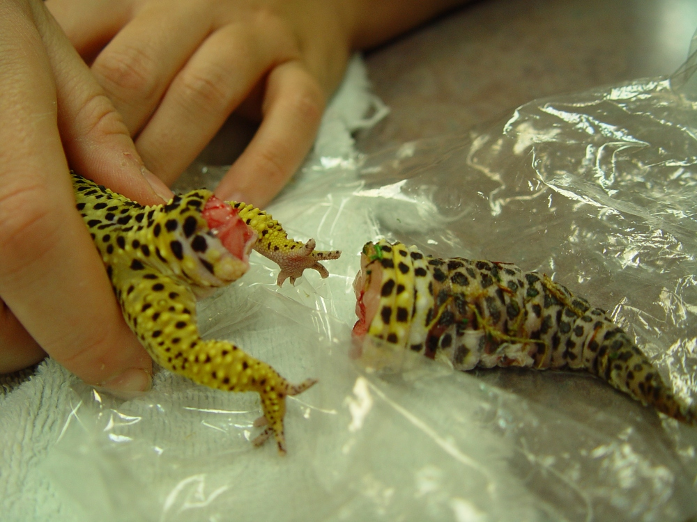 What_happens_when_your_pet_gecko_drops_its_tail